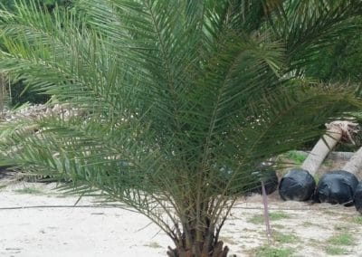sylverster-date-palm-potted-charleston-sc