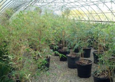 Alphonse-Karr Bamboo-charleston-kiawah-sc-palm-trees