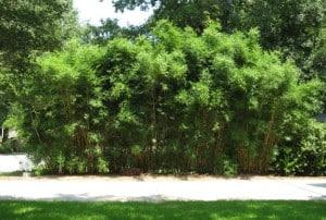 bamboo-3-years-of-growth-charleston-sc