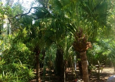fully-grown-chinese-fan-palms-cold-hardy-palms