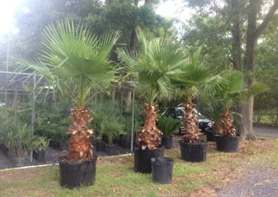 mexican-fan-palm-group-charleston-sc