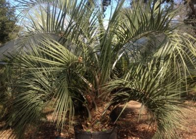pindo-palm-potted-charleston-sc