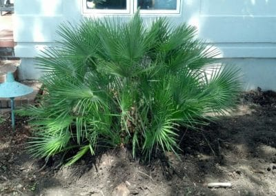 planted-30-gallon-mediterranean-fan-palm-charleston-sc