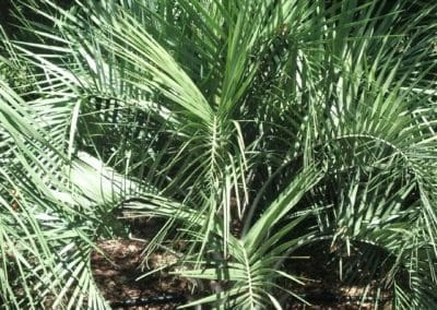potted-pindo-palm-30-gallon