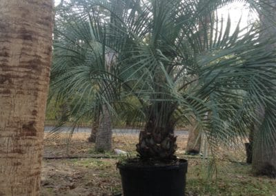 potted-pindo-palm-cold-hardy-palms-and-bamboo