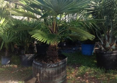 potted-windmill-palm-30-gallons