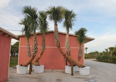 sabal-palmetto-tree-charleston-sc