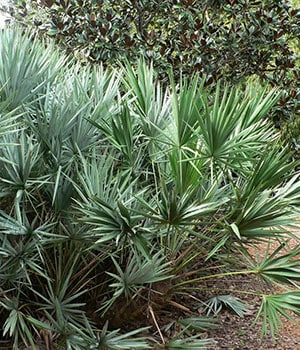 saw-palmetto-cold-hardy-palms-and-bamboo-charleston-sc