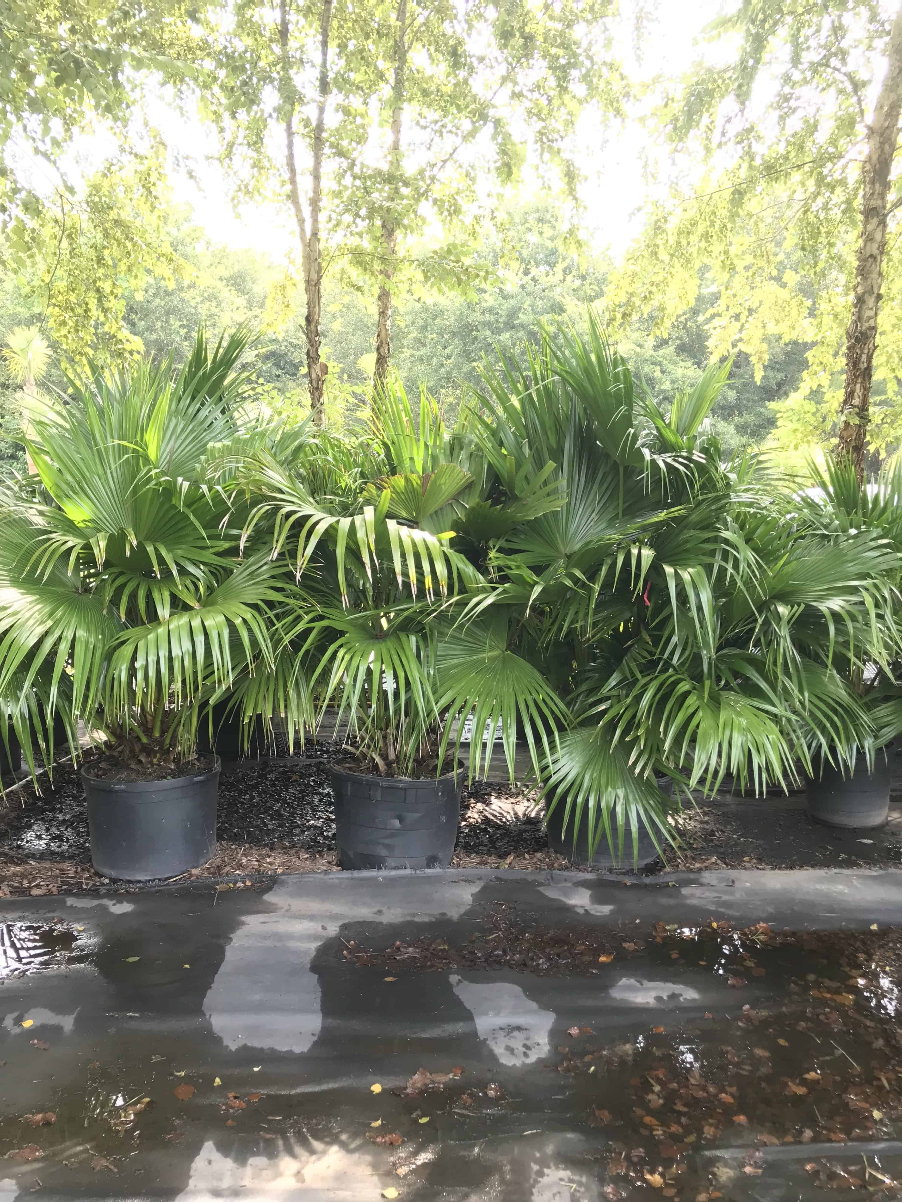 Palm Tree Types Cold Hardy Palms Amp Bamboo